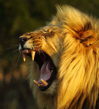 Lion - Shamwari Game Reserve